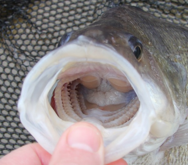 Business end of a perch