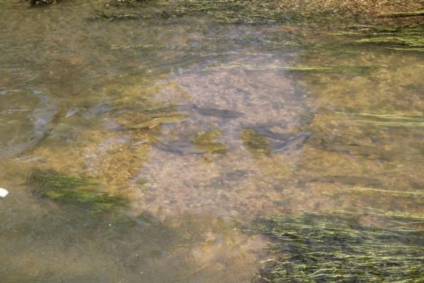 Barbel spawning
