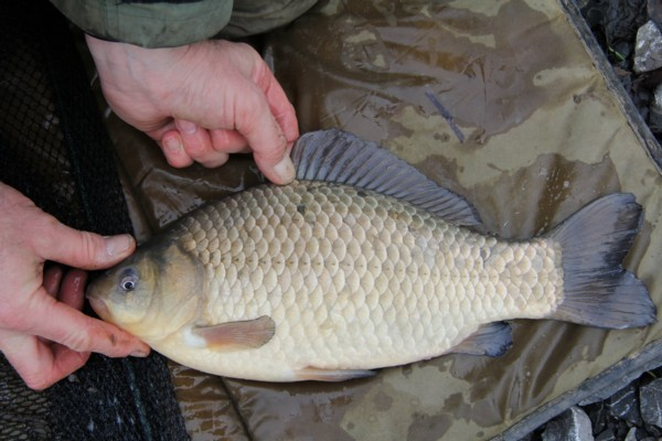 Crucian carp who knows