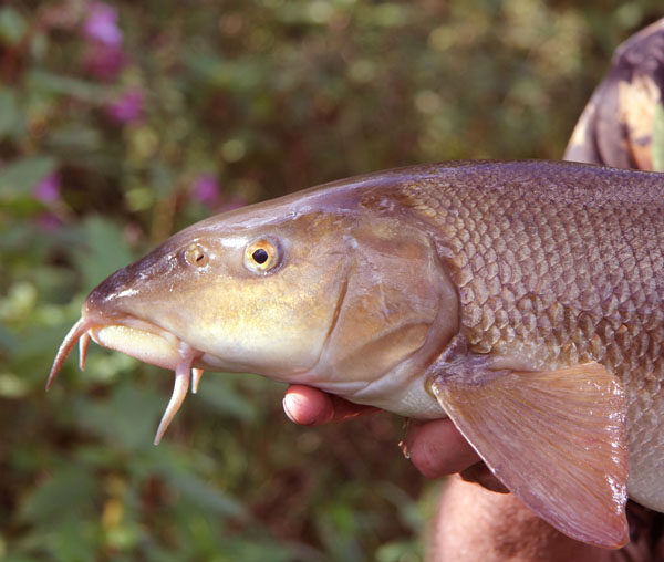 Business end of a barbel