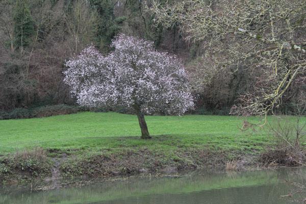 Flowering cherry false spring