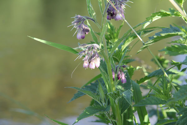 Comfrey one of my favorite wild plants